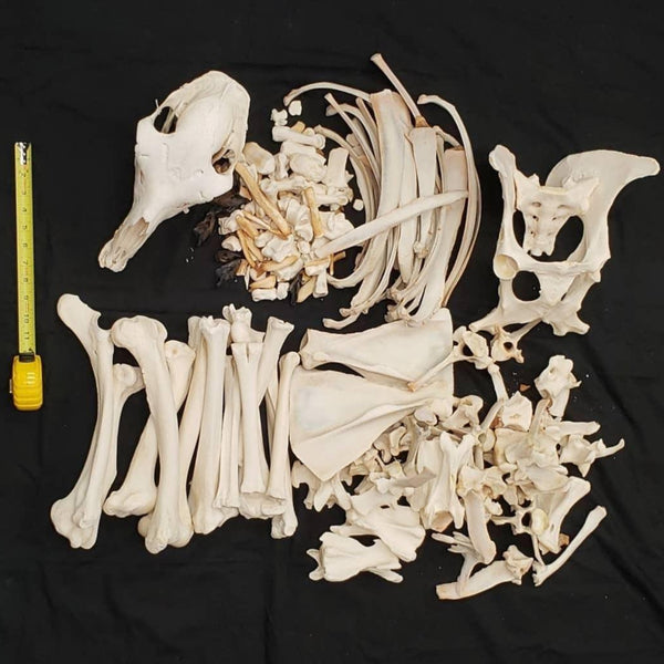 Llama Skeleton, Disarticulated