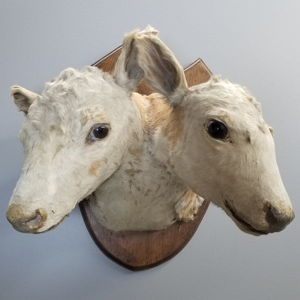 Two Headed Cow Taxidermy, Victorian Era
