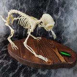 Marmoset Monkey Skeleton (SALE)