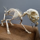 Hunting House Cat Skeleton, Articulated
