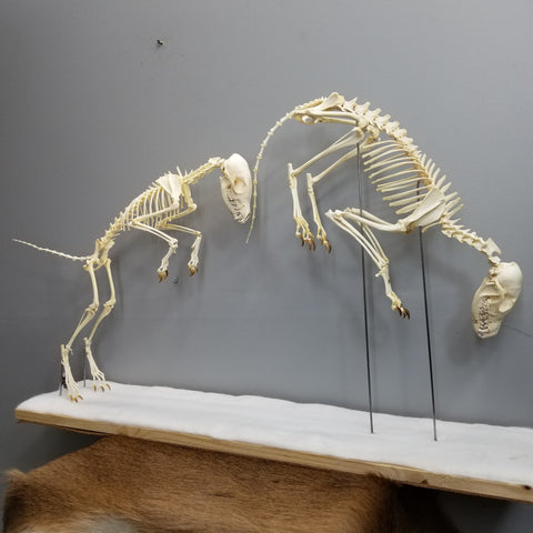 Arctic Fox Skeleton, Leaping Diorama