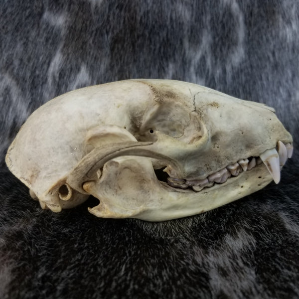 Raccoon Skull, Natural Colouration (SALE)