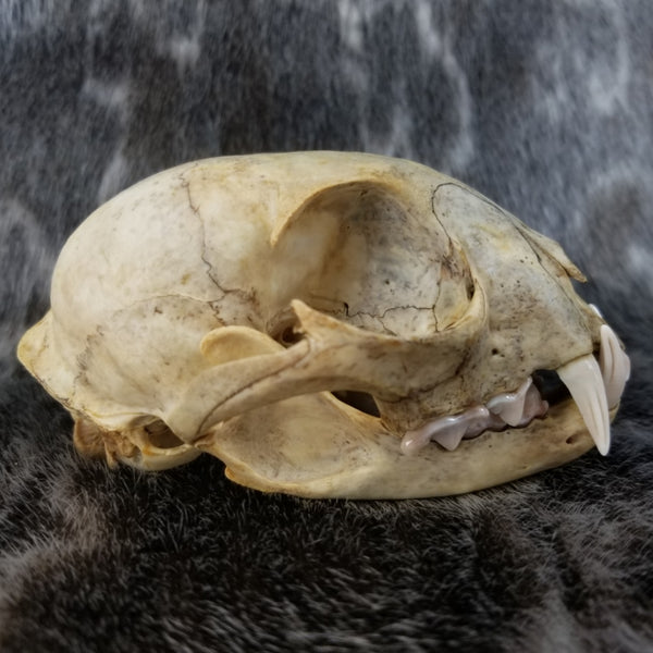 Canadian Lynx Skulls, Natural Colouration