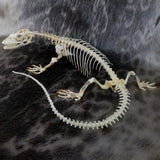 Savannah Monitor Skeleton (SALE)