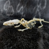 Asian House Shrew Skeleton (SALE)