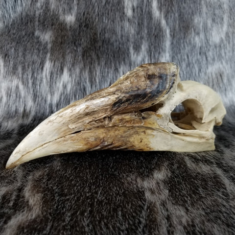 White-Thighed Hornbill Skulls, Female