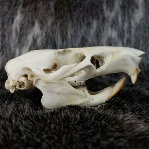 Gambian Pouched Rat Skull (SALE)