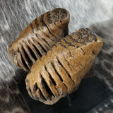 Baby Woolly Mammoth Molar Pair
