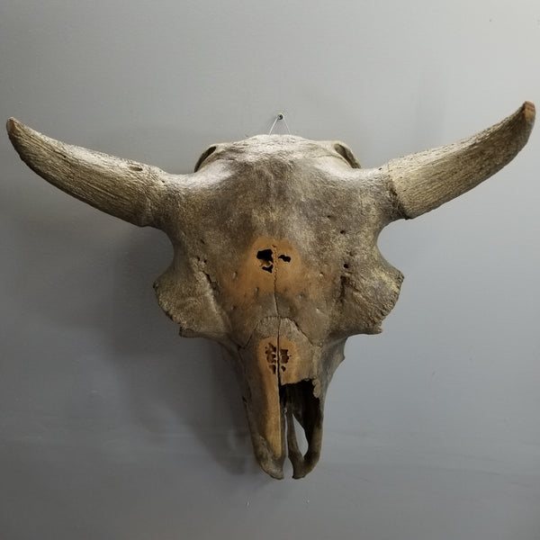 Bison Fossil Skull, XL (SALE)