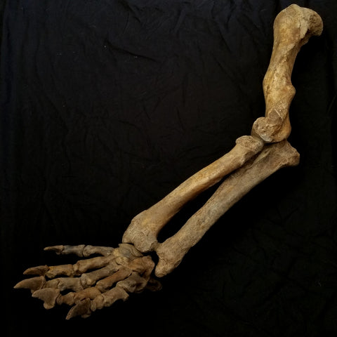Cave Bear Fossil Leg and Paw