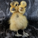 Two Headed Duckling, Taxidermy