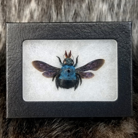 Blue Carpenter Bees