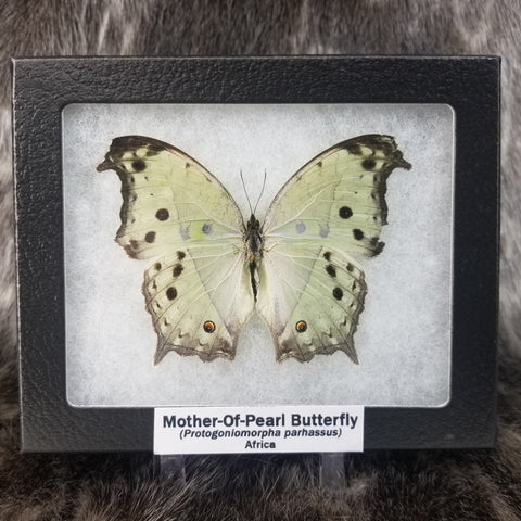 Mother of Pearl Butterflies
