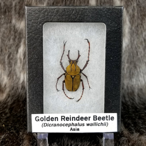 Golden Reindeer Beetle