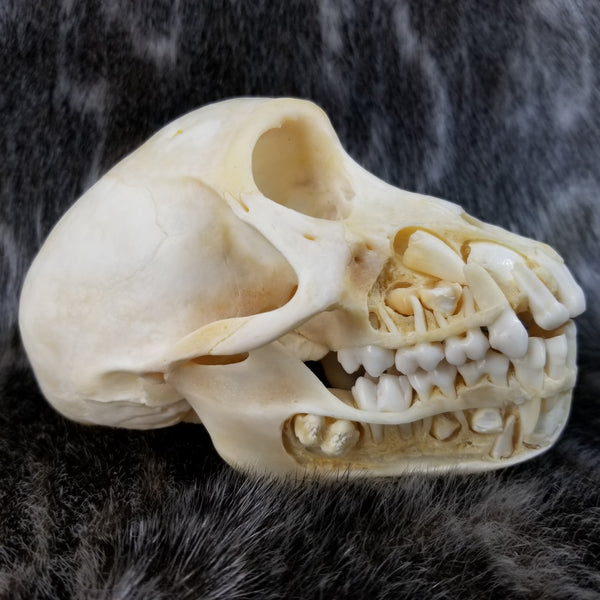Chacma Baboon, Exposed Dentition (SALE)