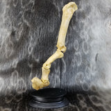 Cave Lion Finger & Claw Fossil (SALE)