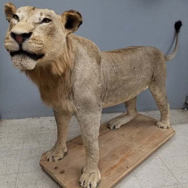 Male Lion Taxidermy Mount