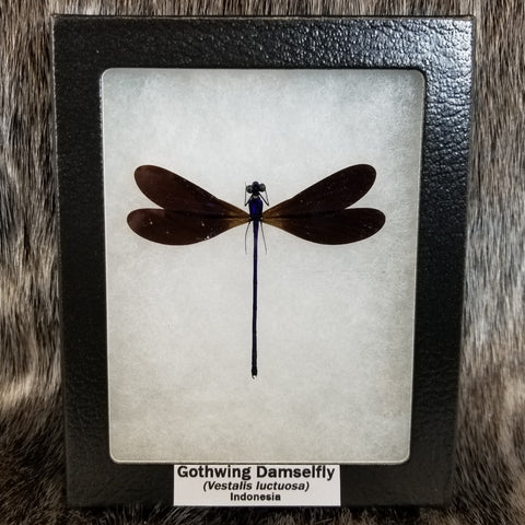 Gothwing Damselfly