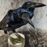 Rook Crow Taxidermy Mount, Two-Headed