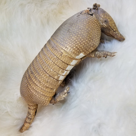Armadillo Taxidermy