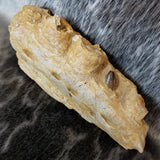 Mosasaur Jaw Fragment (SALE)