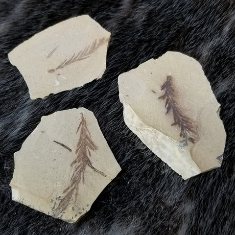 Dawn Redwood Fossil Leaves (Metasequoia)
