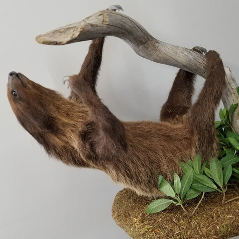 Linnaeus Two-Toed Sloth Taxidermy (CLEARANCE)