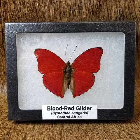 Blood Red Glider Butterflies