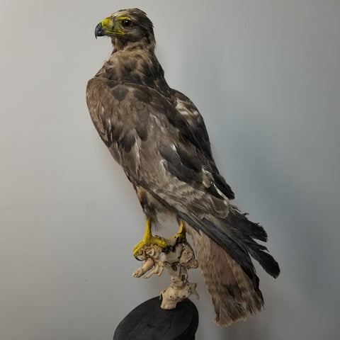 Jackal Buzzard Taxidermy