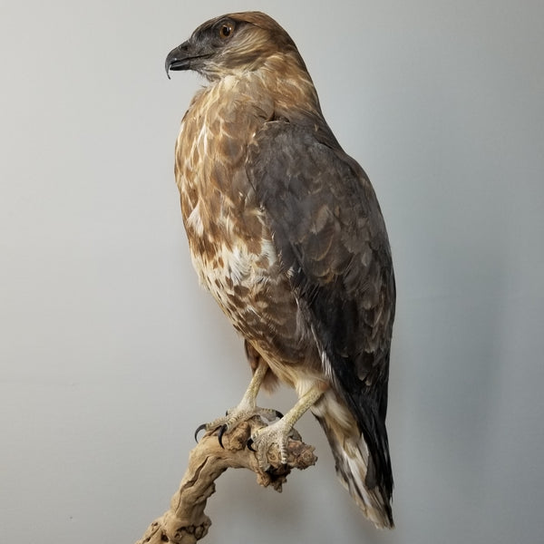 Forest Buzzard Taxidermy