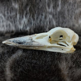 Laughing Kookaburra Skull