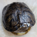 "Red Eared Slider Turtle Shell (9"")"