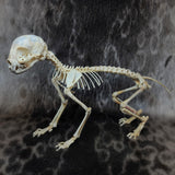 Serval Skeleton, Articulated