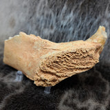Cave Bear Canine In Jaw (SALE)