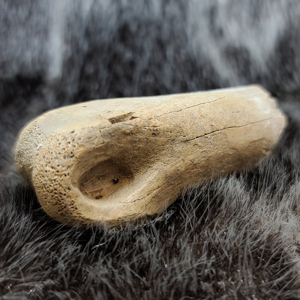 Orthinomimus Dinosaur Toe Bone A