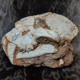Sabertooth Tiger Fossil Skull (SALE)