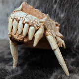 Sabertooth Tiger Fossil Skull, Partial (SALE)