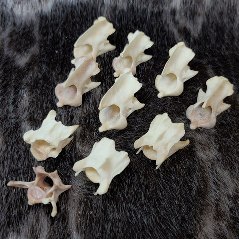 Red Fox Vertebrae