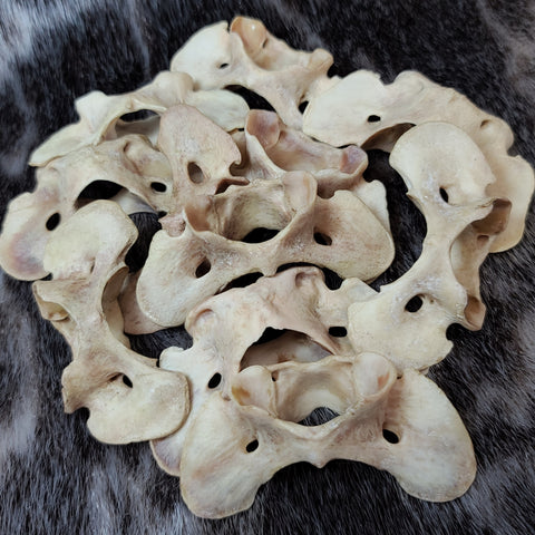 Coyote Atlas Vertebrae (Natural Colouration)