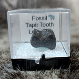 Tapir Teeth, Fossils