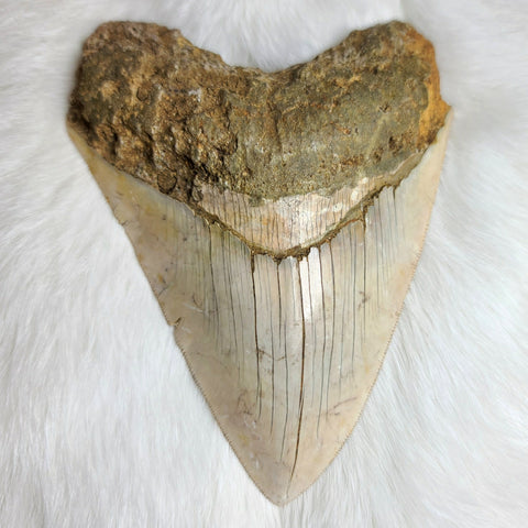 "Megalodon Tooth, Indonesian A (5.5"")"