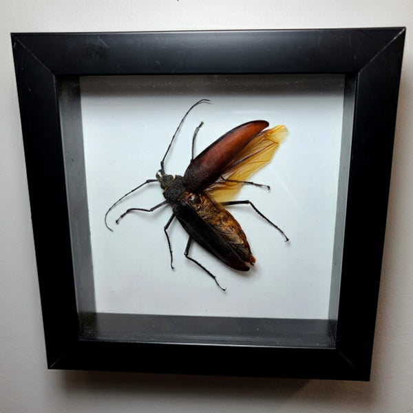 Beetle Anatomy Frame, XL