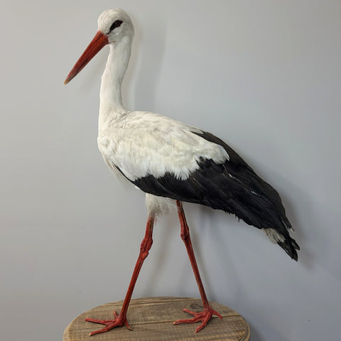 White Stork Taxidermy (SALE)