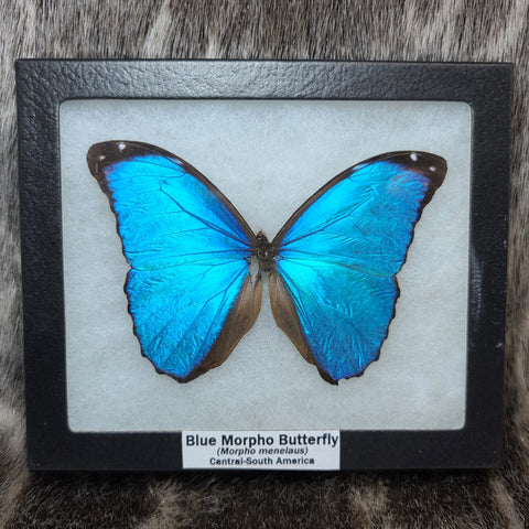 Blue Morpho Butterfly (SALE)