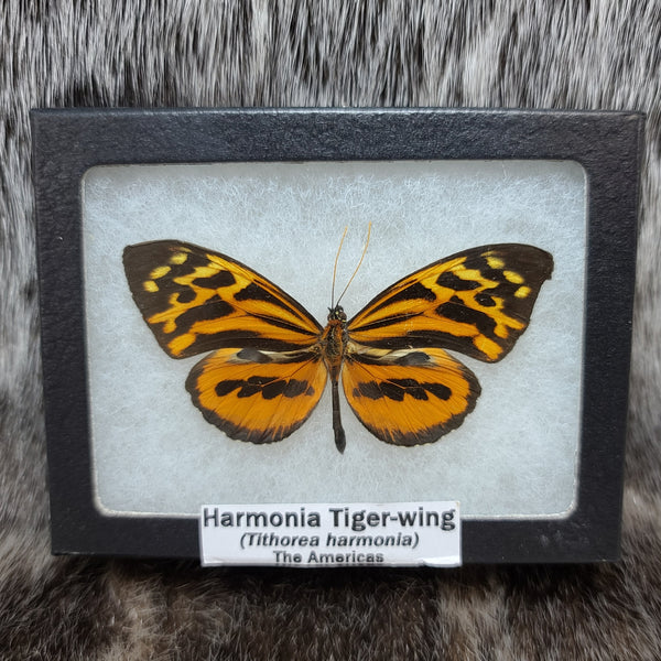 Harmonia Tigerwing Butterfly