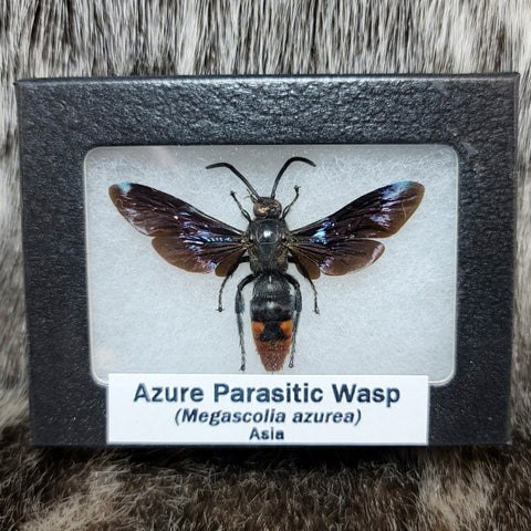 Azure Parasitic Wasp (Male)