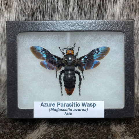 Azure Parasitic Wasp (Female)