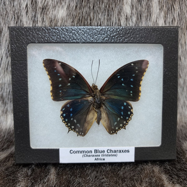 Common Blue Charaxes Butterfly