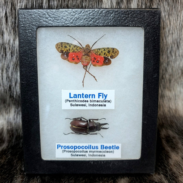 Lantern Fly & Beetle Set