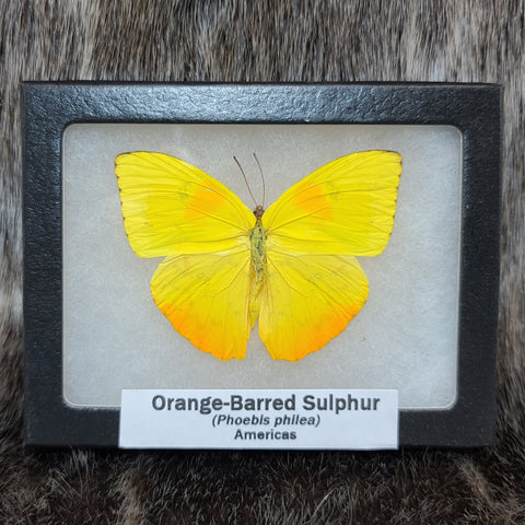 Orange-Barred Sulphur Butterfly